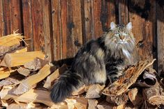 The Norwegian Forest Cat - Cat Breeds Encyclopedia Fancy Cats, Cute Cats, Lots Of Cats, Siberian Cat, Dog Facts, Norwegian Forest Cat, Sleepy Cat, Maine Coon Cats, Fluffy Cat