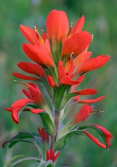 idaho indian paintbrush - Google Search