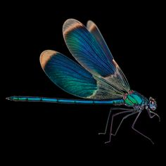 Dragonfly-onBlack-300d.jpg 1,500×1,500 pixels