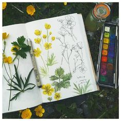 The humble buttercup was today's sketch subject. The taller Meadow Buttercup and…