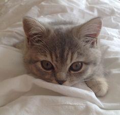 Kitten Snuggling #kitten #britishshorthair #queenelsa #cat