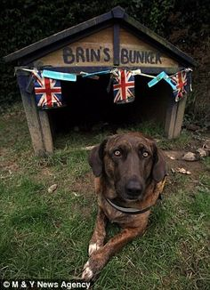 Soldier dog: British army officials adopted the homeless canine and took him on dangerous patrols before he was seized by the Taliban. He was rescued by Sally Baldwin who now cares for the dog