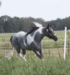 Blue roan paint. I would love to have this horse <3