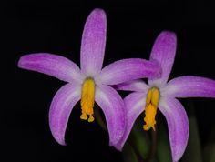 Hoffmannseggella longipes - Flickr - Photo Sharing!