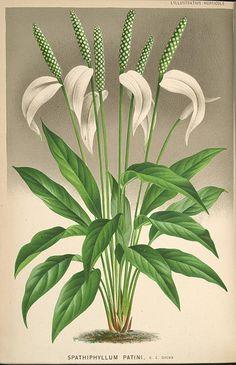 L'Illustration horticole :. Gand, Belgium :Imprimerie et lithographie de F. et E. Gyselnyck,1854-1896.. biodiversitylibrary.org/page/1594922...
