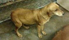 GURDON, AR...#ARKANSAS #***URGENT*** ~ Honey is a young #adoptable Golden / Labrador Retriever mix dog in #Gurdon.  She was found with Pooh Bear & is such a sweet girl!! She is only about 20bs. To #adopt or #rescue contact Ty Oppelt at the City of Gurdon Animal Shelter  at Ph 870-406-0273