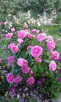 Gertrude Jekyll Gertrude Jekyll Rose, Clematis Vine, David Austin Roses, Love Garden, Edible Plants, Growing Herbs, Exotic Plants, English Roses, My Flower