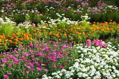 Purple Zinnias - Purple Zipperheads , Cosmos - Candy Land & Lazy Daisies by Live Mulch Ground Covers #zinnia #cosmos #daisy