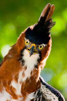 ornate hawk eagle - love his face, he looks like a comic book bird!