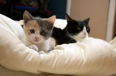 cute calico kitten and tuxedo cat -- Callie Gracie and Oreo Double Stuff :-)