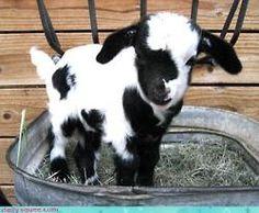 Baby goat.