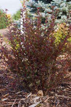 Little Devil Ninebark | Buy from Gardener's Supply