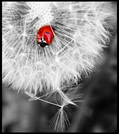 red ladybug on a white dandelion, Touch of Color/Photography this is an amazing board with beautiful hints of… Splash Photography, Color Photography, Black And White Photography, Insect Photography, Color Splash, Color Pop, Colour, Fotografia Macro, Black White Photos