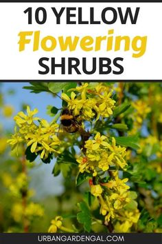 Yellow flowering shrubs are ideal for brightening up the garden. Here are 10 beautiful yellow flowering bushes that are ideal for flower gardens, pots, shrubberies or privacy hedges. #flowers #flowergarden #shrubs