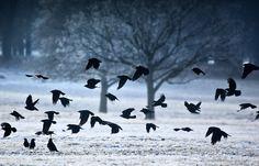 Crows in the Snow   image byAlex Saberi