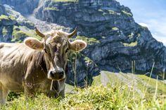Alpweiden in Engelberg Engelberg, Swiss Travel, Switzerland, Wanderlust, Animals, Hiking Trails, Viajes, Photo Illustration, Forests