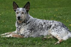 Dingo - Australian Cattle Dog