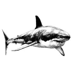 Find Shark Sketch Vector Graphics Monochrome Blackandwhite stock images in HD and millions of other royalty-free stock photos, illustrations and vectors in the Shutterstock collection.