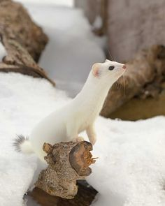 Ermine, Short-Tailed Weasel 5 by Les-Piccolo Mundo Animal, My Animal, Beautiful Creatures, Animals Beautiful, Funny Animals, Cute Animals, Photo Animaliere, All Nature, Tier Fotos