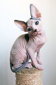 """What a cute baby Sphynx cat! What a cute baby Sphynx cat! What a cute baby Sphynx cat! Although a """"hairless"""" breed, they actually can have a very fine hair coat and care must be taken to ensure good skin health :) Kittens Cutest, Cats And Kittens, Cute Cats, Funny Cats, Cats Bus, Baby Cats, Baby Animals, Cute Animals, Baby Giraffes"""