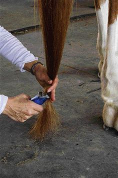 Tail hair grows very slowly, so putting extra effort into the care of your horse's tail is a wise choice. Don't use brushes or combs on your horse's tail; doing so can quickly break many hairs. In preparing for shows, bang your horse's tail if your discipline calls for it.