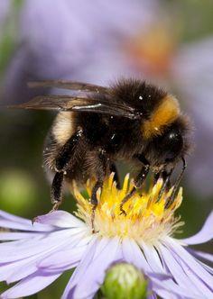 ˚Bumble Bee ( Bombus lucorum)