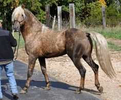 Morgan horse, Missouris Do More Flash Dance