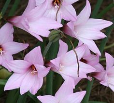There are many rain lilies that bloom all across the world, but few put on the show of Habranthus robustus. This pink rain lily will bloom 4 to 6 times in one summer, not minding the heat or humidity. They can be seen performing in shady areas and in Full Sun. These larger rain lily bulbs quickly clump and spread, offering a showy display in an otherwise dormant summer garden.