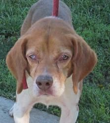 FOUND IN STARK COUNTY OHIO>>>H-5 Trent/Sponsored is an adoptable Beagle Dog in Canton, OH.  Picked up as a stray on 9/13. Available on 9/17. Trent is one beautiful beagle boy! But he isnot happy being at the pound, and stu...