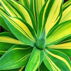 <i>A. attenuata '</i>Variegata' - 16 Gorgeous Agave Plants - Sunset