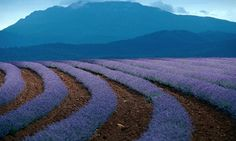 Rows of flowers at a lavender farm in Tasmania