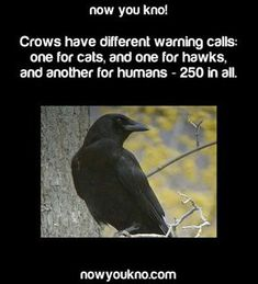 Interesting facts about nature, history, science, people, and the world. Learn something interesting today. The More You Know, Did You Know, Crow Facts, Raven Facts, Jackdaw, Crows Ravens, Tips & Tricks, Animal Facts, Wtf Fun Facts