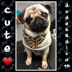 Cute, adorable little pug girl ♥️ Grooming Salon, Pugs, French Bulldog, Diva, Bunny, Animals, Bulldog Frances, Animaux, French Bulldog Shedding