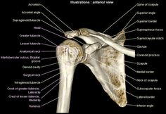 3D model of the gleno-humeral joint : anatomy of the scapula, humerus and clavicle
