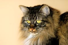 Manx cat - the perfect cat for dog people mine name was Bernie him and my wolf shadow best friends