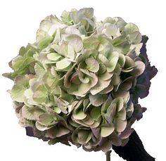 Bulk Green Hydrangea