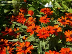 Full size picture of Zinnia 'Profusion Fire' (Zinnia)