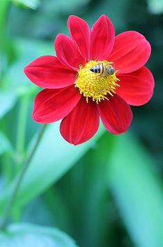 78 best buzzy bee garden images on pinterest buzzy bee bees and red flower with a tempting yellow center tempting for the bee that is mightylinksfo