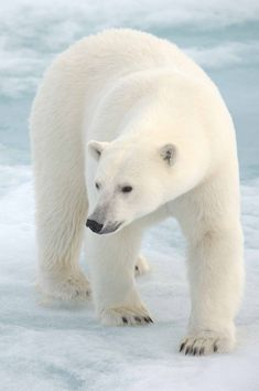 Polar Bear taken in the Arctic on the Ice Flows | by Andy Silver