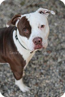 Goleta, CA - Pit Bull Terrier Mix. Meet Jasper, a dog for adoption. http://www.adoptapet.com/pet/12184184-goleta-california-pit-bull-terrier-mix