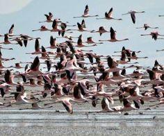 Tausende von Flamingos leben in der Region des Lake Natron. Ihre pinke Farbe bekommen sie durch die Krebstiere die auf ihrem Speiseplan stehen.