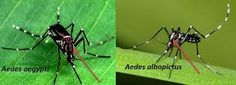 The Asian tiger mosquito,Aedes albopictus, is an important vector of dengue, chikungunya and Zika viruses and is a highly invasive and aggressive biter.