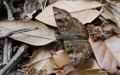 Duskywing by chefrx, via Flickr
