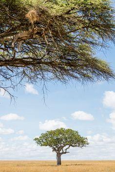 Alleen wanneer je heel goed kijkt vind je luipaarden in de Serengeti. Ze liggen graag verborgen in bomen op de uitkijk, of slapen een beetje