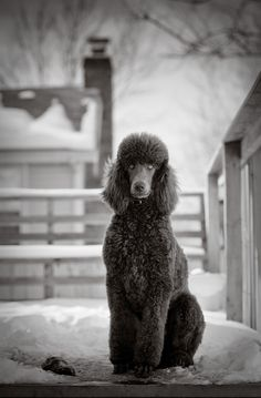 Stunning Standard Poodle - Jackson Photography, Kansas City Pet Photographer