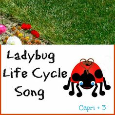 Ladybug Life Cycle Song lyrics to the tune of The Wheels on the Bus