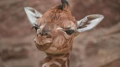 April the giraffe: Zoo babies since her livestream started - BBC News http://www.bbc.co.uk/news/science-environment-39541858?utm_campaign=crowdfire&utm_content=crowdfire&utm_medium=social&utm_source=pinterest