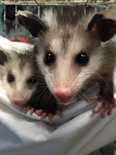 Great photo of a cute mom opossum and her baby - Wild At Heart Rescue.