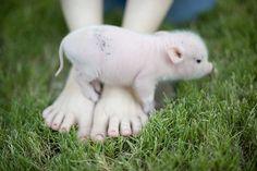 some (tiny) pig!