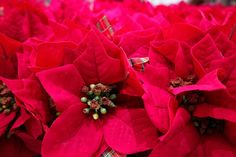 how to look after a poinsettia